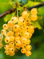 Periodo di raccolta frutti alberi e piante da frutto for Elenco alberi da frutto